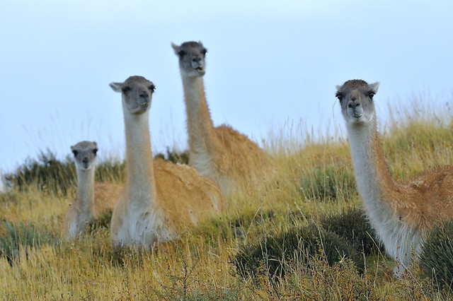 Chile, guanacos