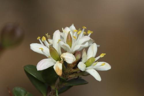 Sweet Bursaria (Bursaria spinosa)