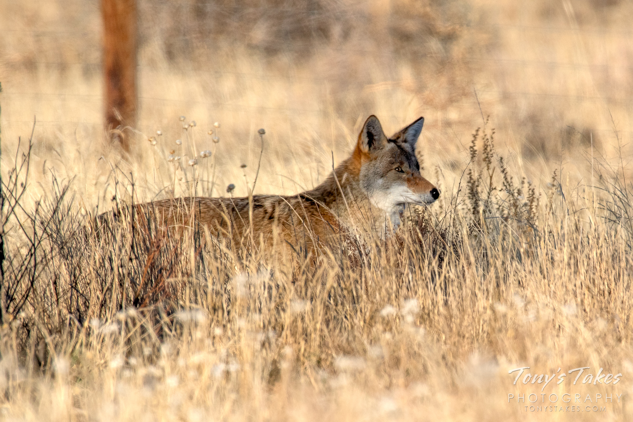 A Coyote keeps close watch as it moves through the grass. (© Tony's Takes)