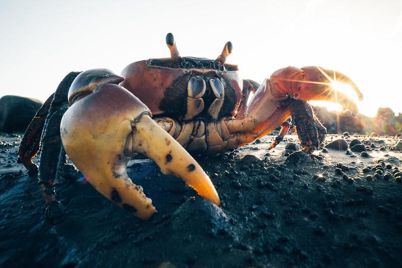 Crab|螃蟹哥