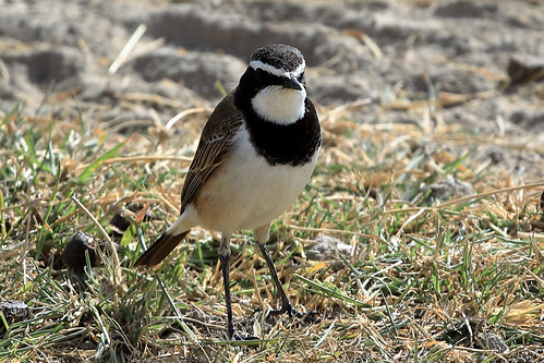 Capped wheatear   by dmmaus
