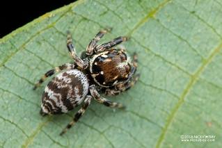Jumping spider (cf. Pancorius sp.) - DSC_7686