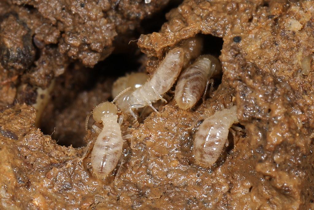 Image result for type of termite: subterranean termites