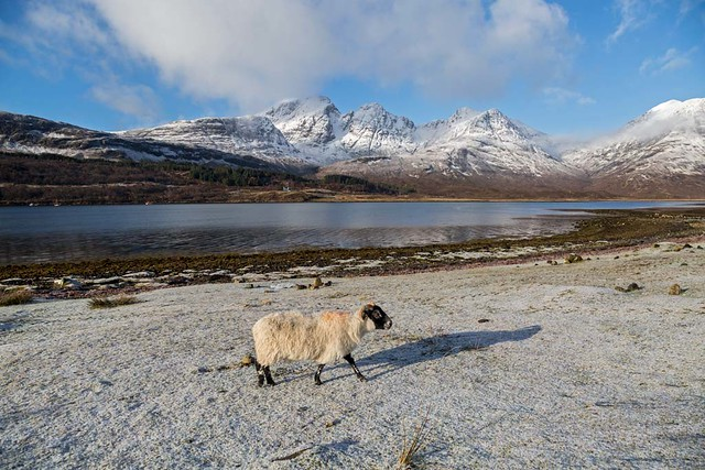 Bla Bheinn( Blaven) and a Blackface Sheep