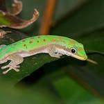 Modest Day Gecko (Phelsuma modesta)