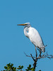 Great Egret (Ardea alba) by David Cook Wildlife Photography