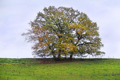 autumn tree meadow anger berchtesgadenerland bavaria germany badreichenhall