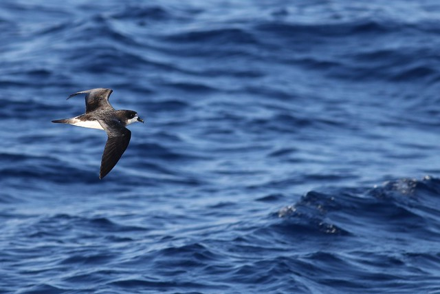 Bermuda Petrel - Offshore South of Bermuda - November 8, 2018