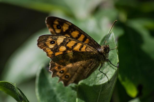 Wild fauna Butterfly.