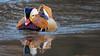 Central Park Mandarin Duck by mathurinmalby
