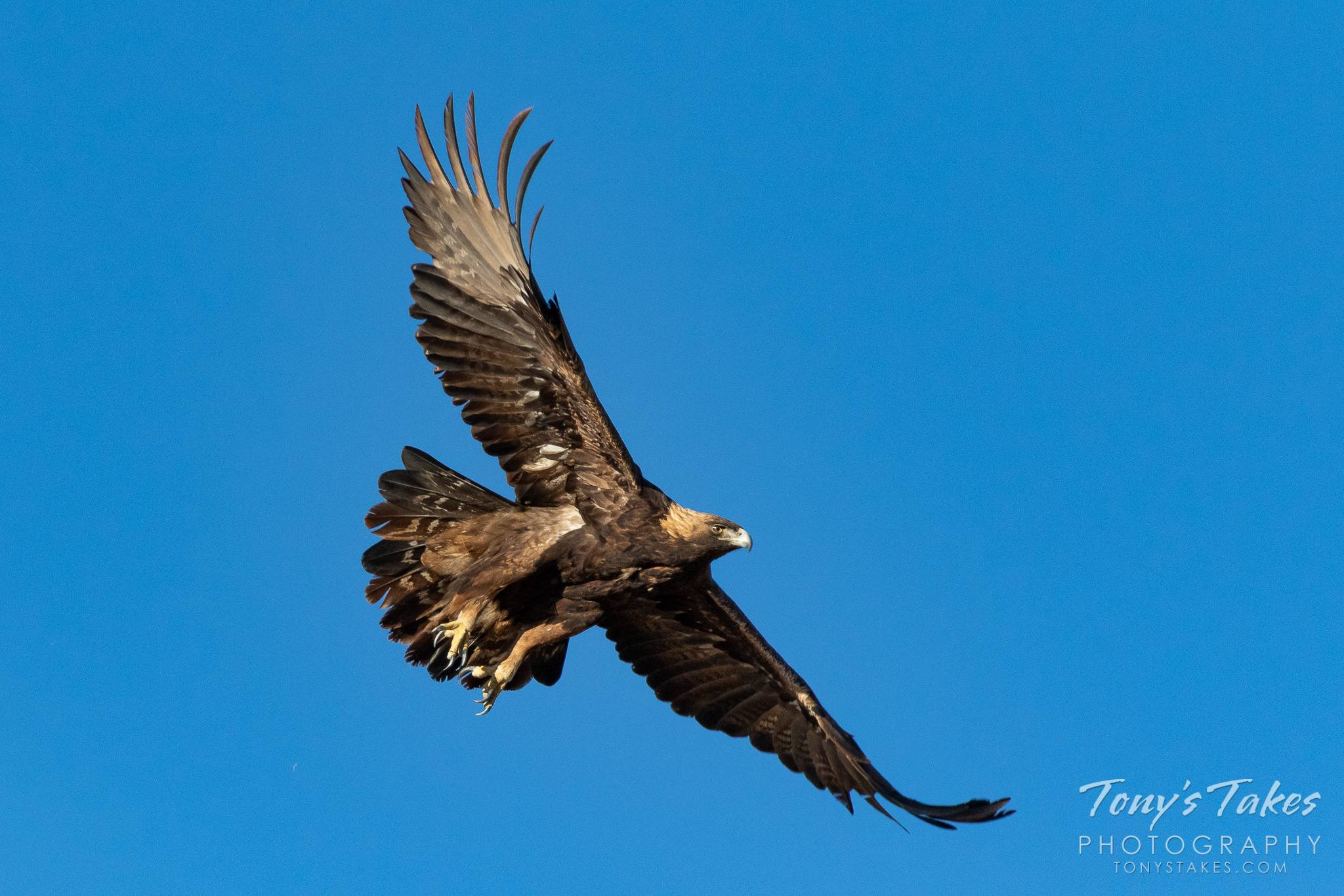 A golden eagle takes flight in Boulder County, Colorado. (© Tony's Takes)