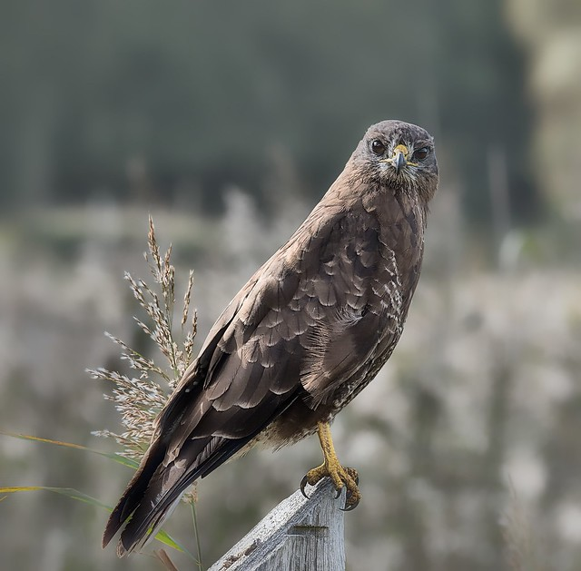 A common buzzard close by 'Årslev engsø', Denmark-8 dn SH