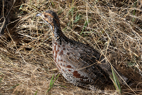 Shelley's francolin | by dmmaus