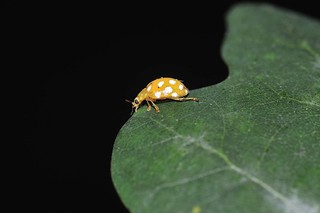 Orange Ladybird | by markhows
