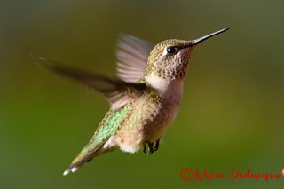 Ruby-throated Hummingbird | by KwinnPhotography