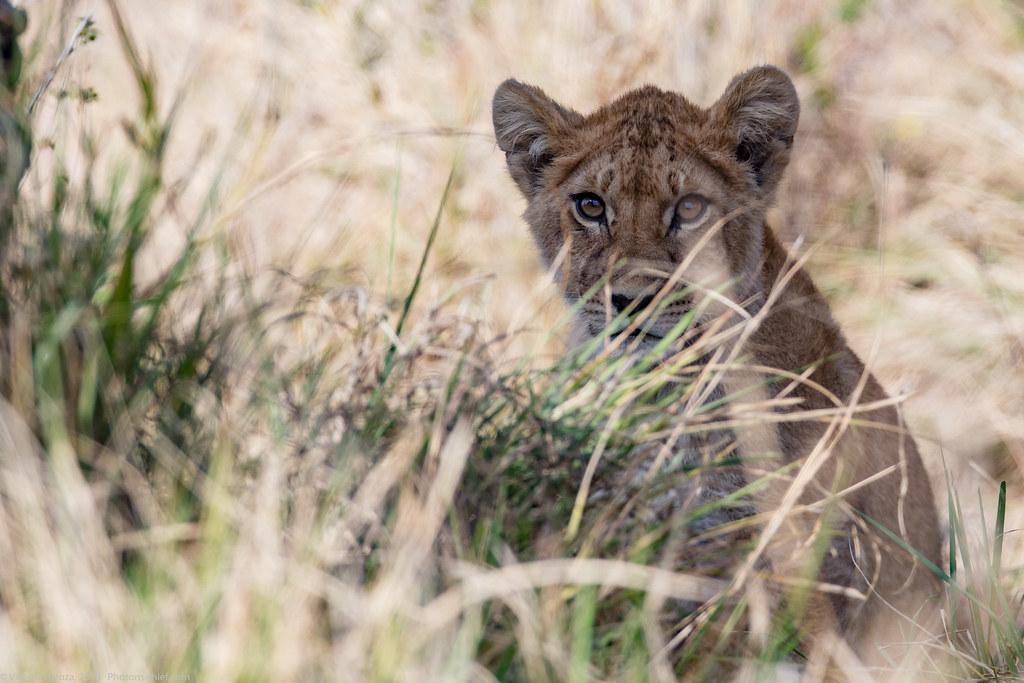 Leoaica cu pui_septembrie18_Serengeti_15_bis