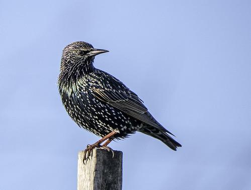 Starling2 | by ijwilki