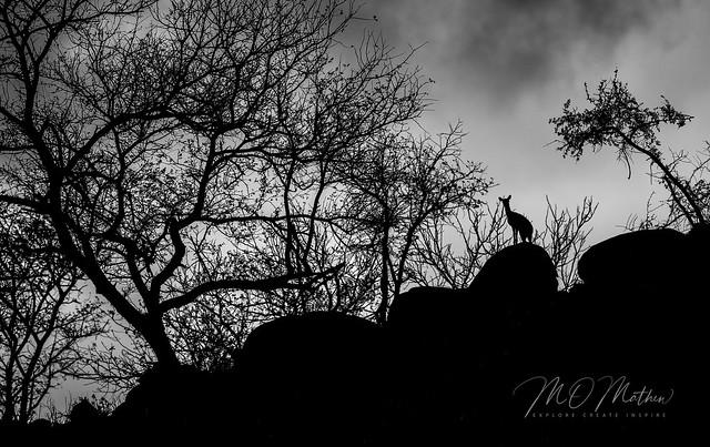 Silhouetted Dik-Dik, Kruger N.P., R of S Africa