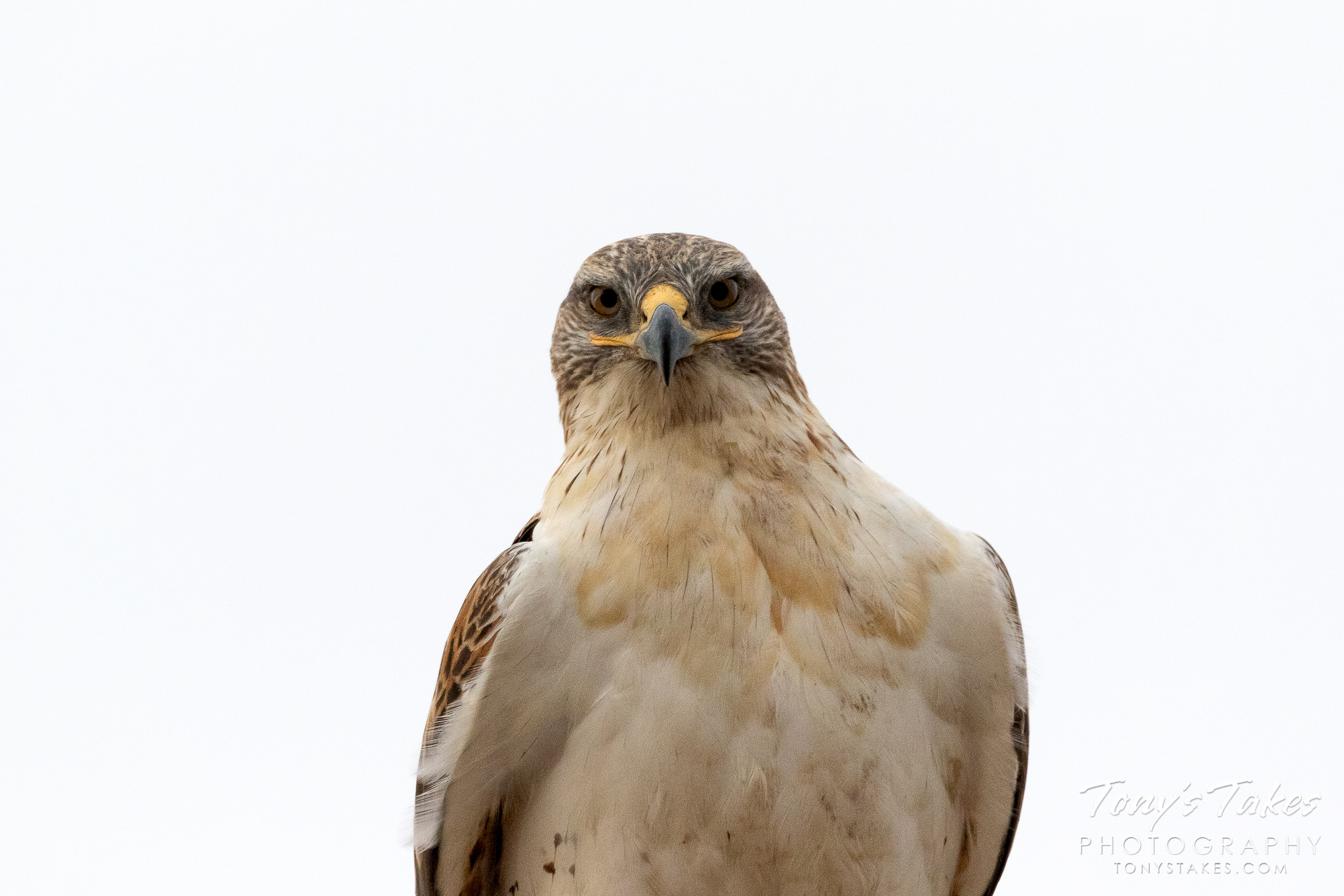 A stare-down with a Ferruginous Hawk. (© Tony's Takes)