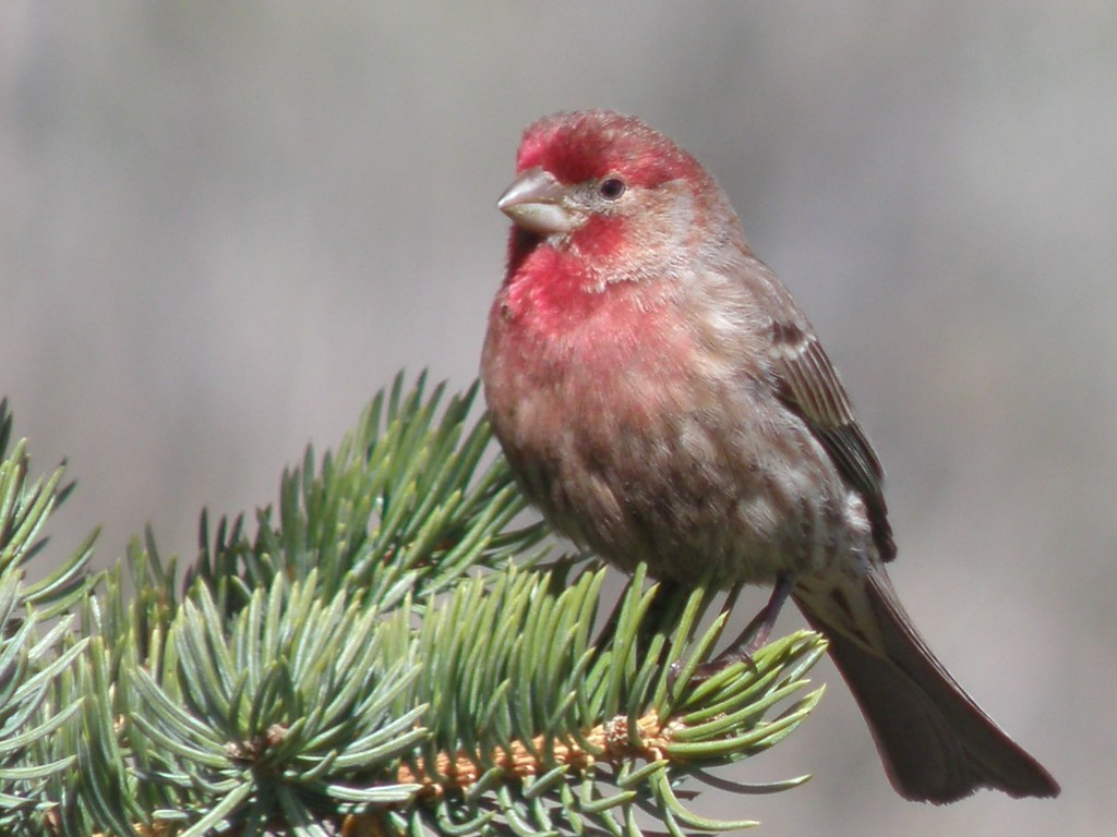 P4066802...house finch [typical]