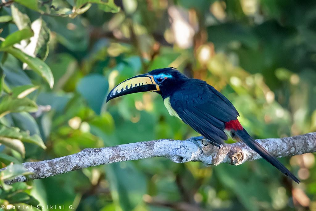 Lettered Aracari. Arasari Pecho Amarillo. Arasari marcado. Pteroglossus inscriptus