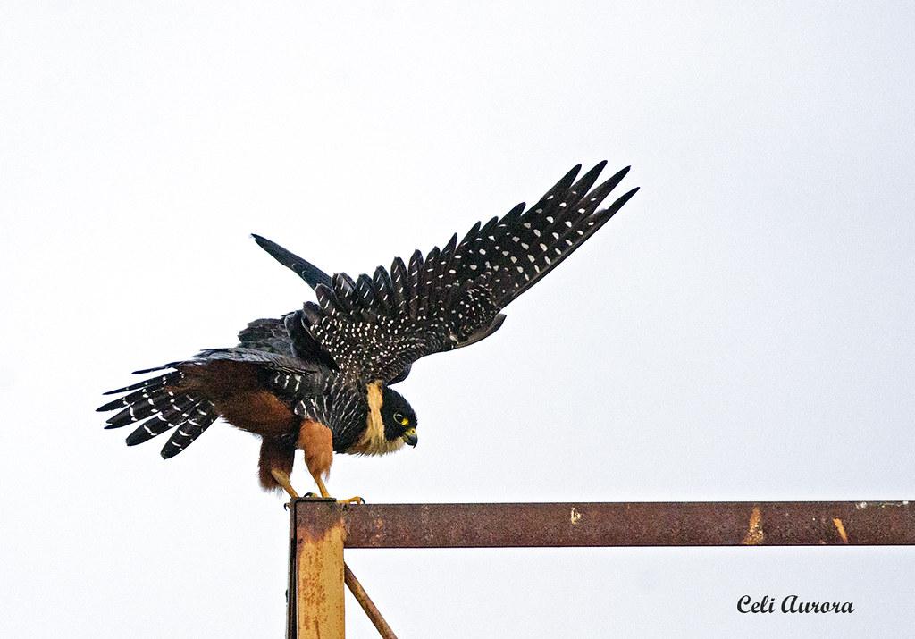 "Cauré - "" Falco rufigularis "" - Bat Falcon -"