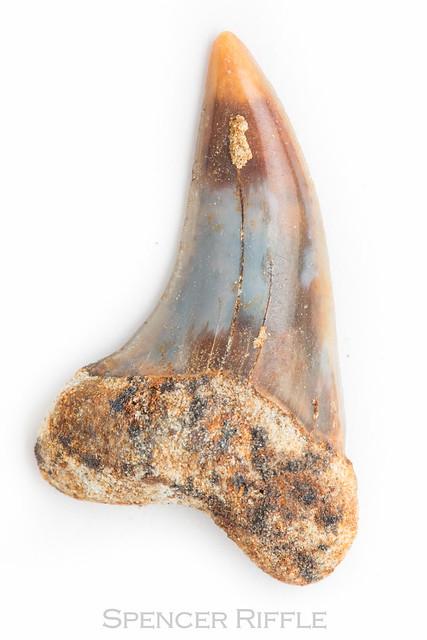 Petrified shark tooth