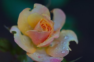 Rose after the rain | by rossenvn