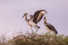 Saddle-billed storks (Ephippiorhynchus senegalensis) by TrekLightly