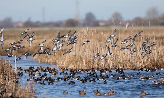 Black-tailed godwits and ducks (Greylake)