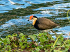 Comb-crested Jacana (Irediparra gallinacea) by David Cook Wildlife Photography