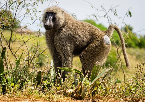 baboon westernregion nature uganda buliisadistrict ug
