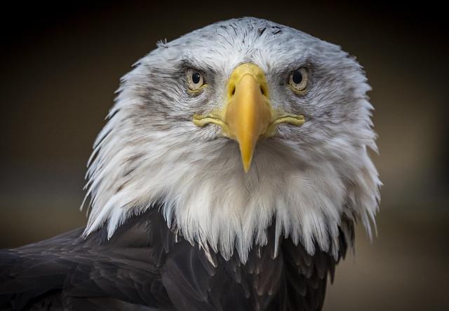 Portrait - Bald Eagle