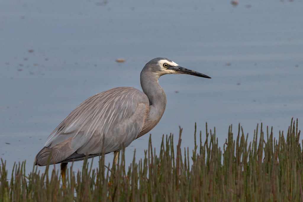 White-faced Heron 7