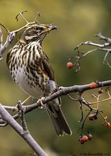 "playing peep""o""   by blackfox wildlife and nature imaging"