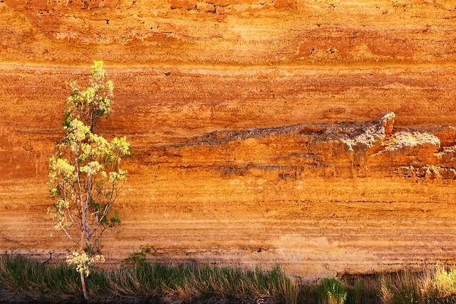 Tree posing with Limestone Cliffs, Murray River, South Australia