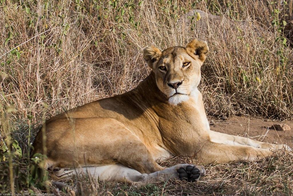 Leoaica cu pui_septembrie18_Serengeti_01