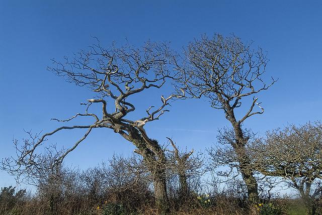 Weather-beaten but not beaten: cornish coastal trees