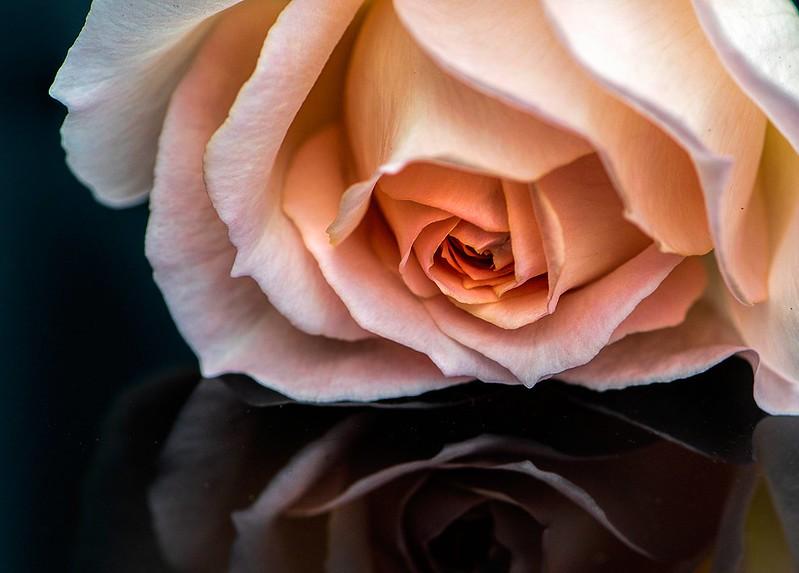 Обои макро, отражение, роза, бутон картинки на рабочий стол, раздел цветы - скачать