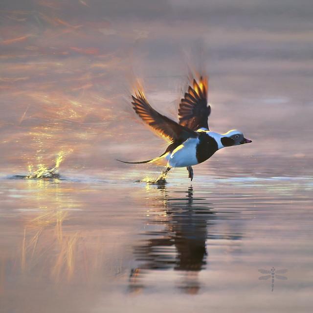 long-tailed duck (Clangula hyemalis) . . .