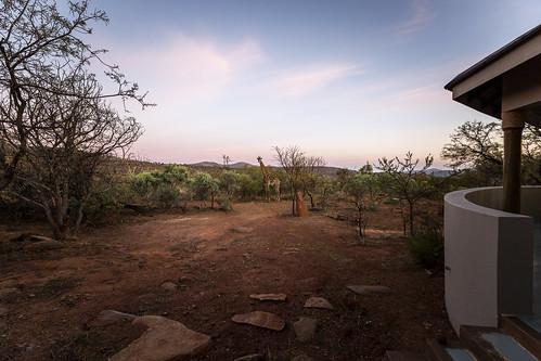 giraffe kameelperd site66 66 kuduprivatenaturereserve kuduranch kudugameranch lydenburg southafrica kpnr mpumalanga