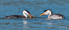 Courting Clark's Grebes