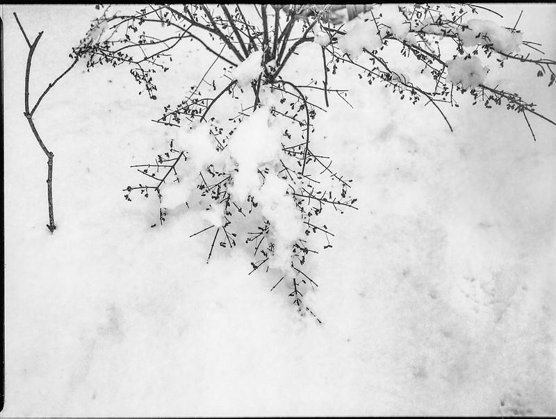 dormant bush, bare sapling, snow, Asheville, NC, Mamiya 645 Pro, mamiya sekor 45mm f-2.8, Arista.Edu 200, Ilford Ilfosol 3 developer, 12.9.18.tiff