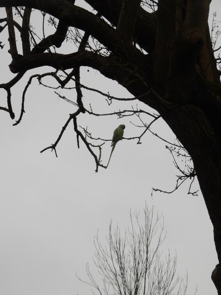 Lone Parakeet One of many squawking at us throughout the day. Greenford to Osterley