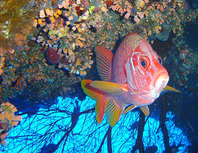 Sargocentron spiniferum (Sabre squirrelfish) Candil sable