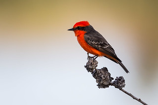 Vermilion Flycatcher (explored on 12/1/2018) | by ericnzhou