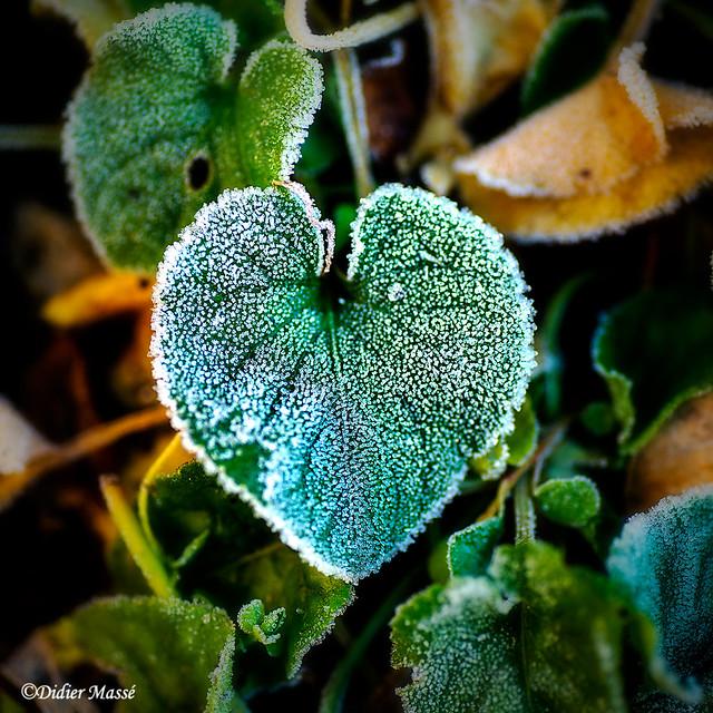 Petit coeur végétal givré
