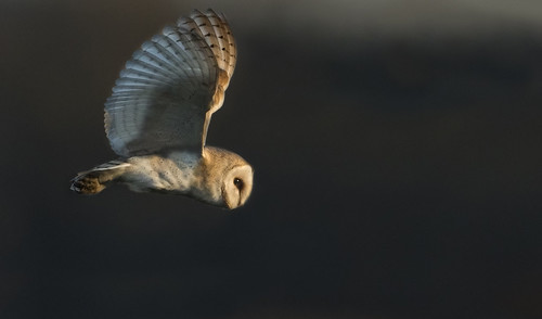 avian bird eye flying gliding gorgeous hunting hunt impressive owl barn barnowl twilight sunset sun lit unusual wild wings