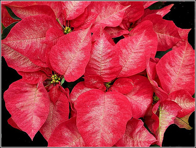Red Poinsettia Plant ..