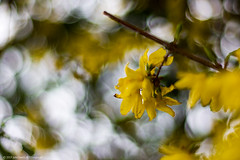 Forsythia in the wind